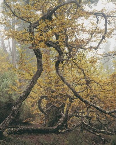 "The Wilderness Gallery - Photograph by Peter Dombrovskis | ""Deciduous Beech near Barn Bluff, Cradle Mountain, Tasmania"" from exhibition in Tasmania, Australia 
