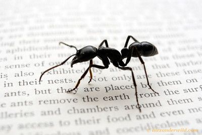 """Dinoponera australis, posing on a page from William Morton Wheeler's classic 1910 text """"Ants: their structure, development, and behavior"""".  Misiones, Argentina"""