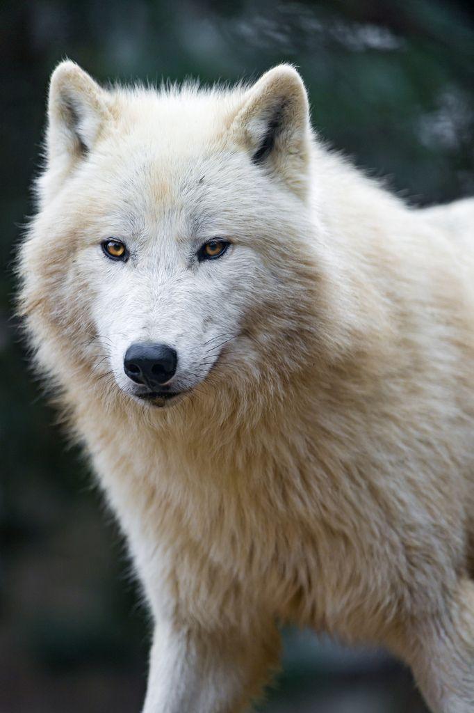 Nice and fluffy polar wolf | por Tambako the Jaguar