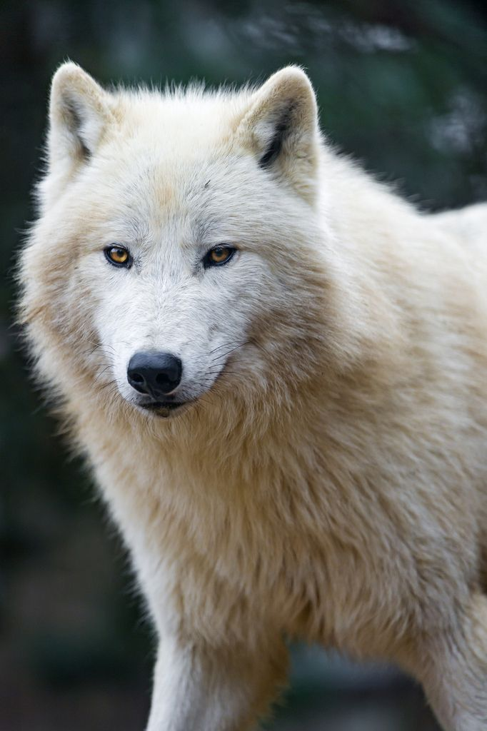 Nice and fluffy polar wolf | por Tambako the Jaguar