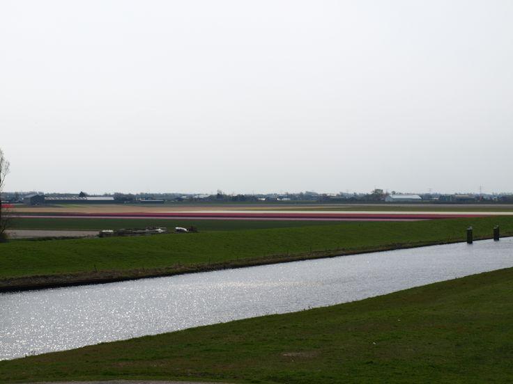 Bloembollenvelden Julianadorp ,2014