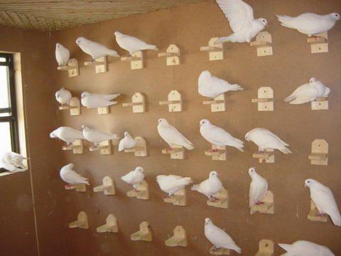 Pigeons (from http://www.gopixpic.com/480/whpf-white-homing-pigeon-forum/http:%7C%7Cxa*yimg*com%7Ckq%7Cgroups%7C4271333%7Chomepage%7Cname%7Chomepage*jpg~type=sn/) (it tries to get you to register. bleh)