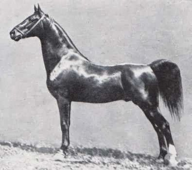American Saddlebred stallion Rex Peavine, sire of Kalarama Rex and broodmare sire of Stonewall King and Edna May's King, was also a 5-gaited show horse.