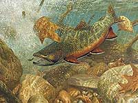 On the Run-Steelhead Fish Art Print by Mark Susinno   Wild Wings