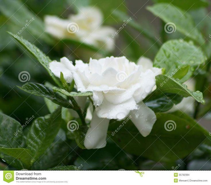 White rose in a garden