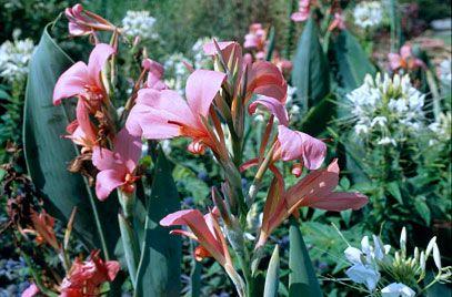 RHS Plant Selector Canna 'Erebus' AGM / RHS Gardening