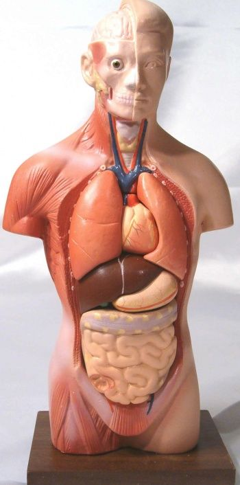 Het menselijk lichaam.