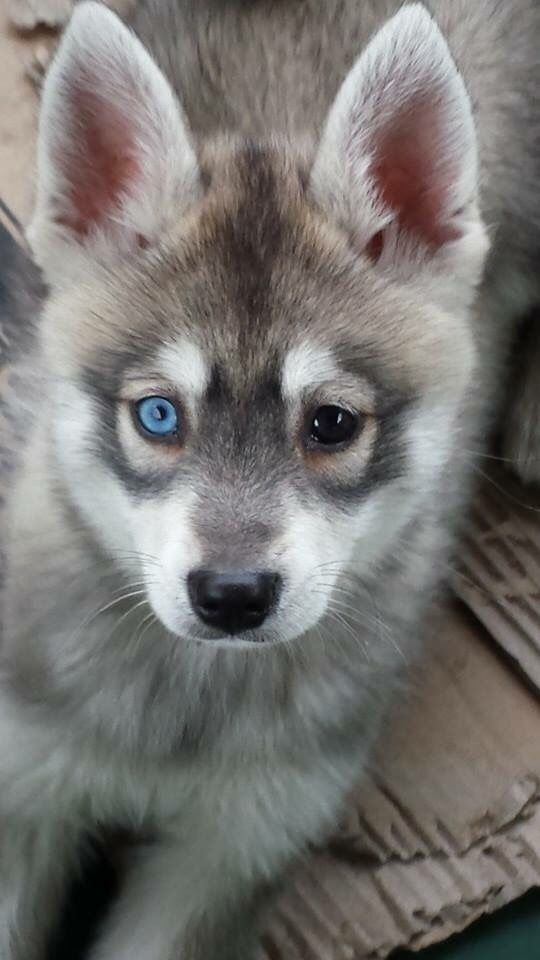 Alaskan Klee Kai - dream dog <3