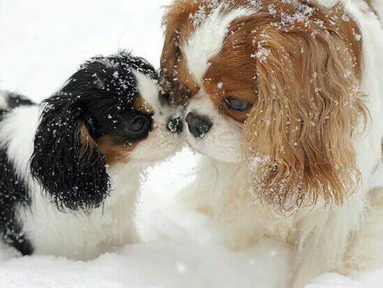 """Mommy, I likes it in the snow!""  How adorable!  King Charles Cavalier Spaniels"