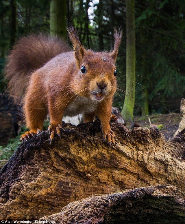 Say nuts! This red squirrel stares straight at the camera after it is snapped by photographer Alan Wennington at a car park in Ponteland, Northumberland