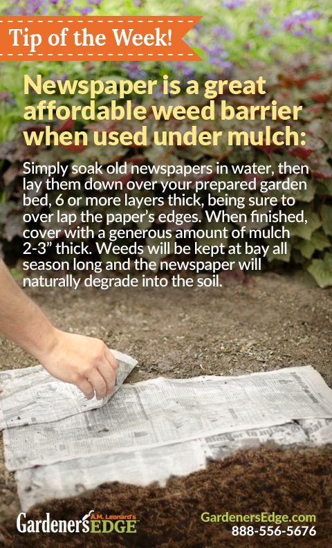 Gardening Tip: Using newspaper as a weed barrier is a great low-cost option for gardeners! When using newspaper to prevent weeds, remember to lay the paper once it is damp, use several layers, and cover with mulch or soil to keep the paper in place.     GardenersEdge.com