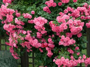 Rose Zephirine Drouhin...Think this is what I'm definitely going to plant next to chicken run so it climbs up the chain link fencing.
