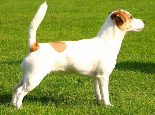 Imagen razas-de-perros-ingleses-russell-terrier del artículo 200 razas de perros clasificadas según su país de origen