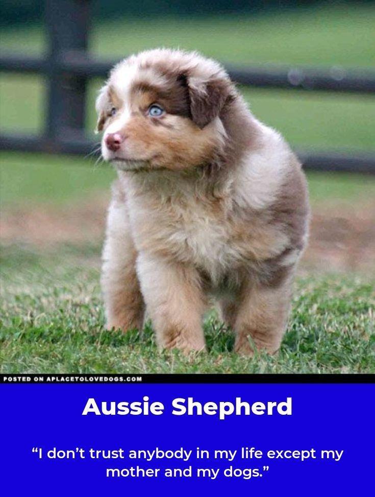Australian Shepherd Smart Working Dog With Images Australian Shepherd Working Dogs Dogs
