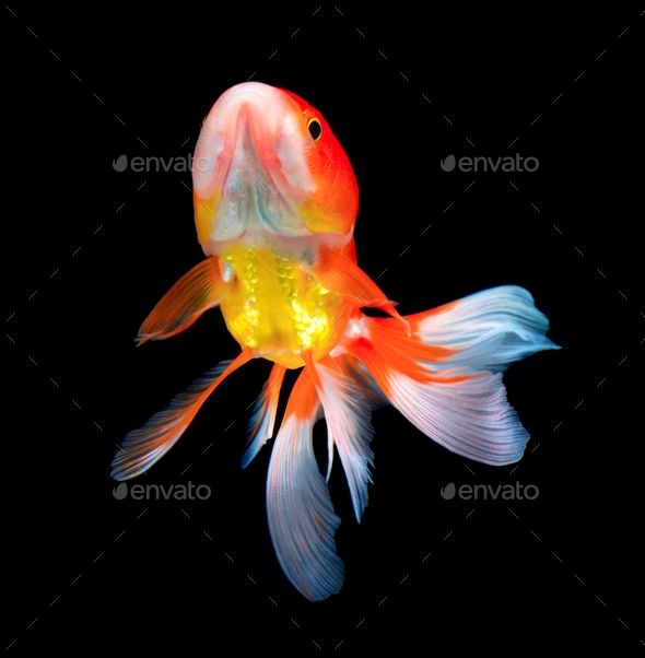 Gold Fish On Black By Sommai Gold Fish On Black Ad Fish Gold Sommai Black Goldfish Creative Infographic Fish