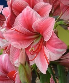 Amaryllis Gervase is one of the prettier varies. If you order large bulbs they have so much larger flowers- it's worth it.