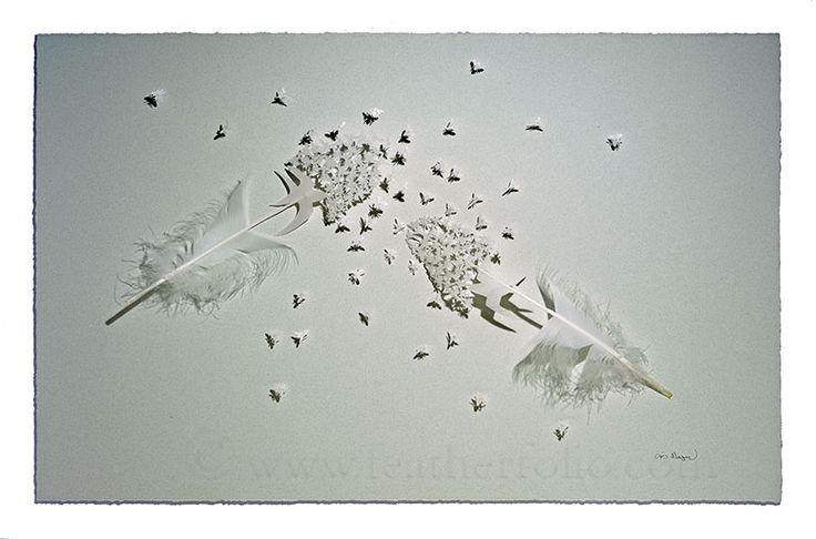 Avalez Bug.  plumes de cygne muet.  20 par 30 pouces