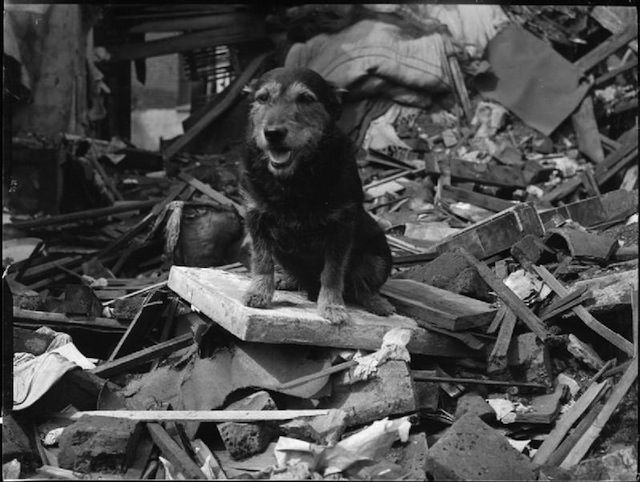 The Medal Winning Dogs of the London Blitz. This plucky little East End waif was adopted by Mr E King, a warden based at Southill Street near Poplar's Langdon Park. Homeless and hungry, Rip's keen sense of smell, sense of adventure and intrepid, terrier-like nature meant the mongrel was invaluable when it came to searching the rubble.