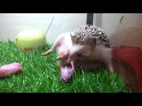 Hedgehog Mating Rituals - Attenborough - Life of Mammals - BBC - YouTube