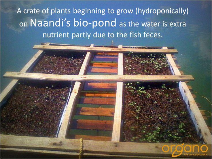 Hydroponically grown plants on a bio-pond at Naandi's organic farm.
