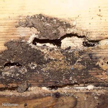 Dealing with Ant Problems - Sometimes the solution to an ant problem is getting rid of their nest. If you're dealing with carpen... - Provided by The Family Handyman