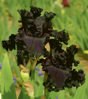 """All Night Long Iris-Type: Tall Bearded (TB) Style: Self Height: 31"""" Color: Black Originator: Duncan, Roger Year: 2005 Bloom Season: Late Fragrant: Yes Rebloom: No Awards: HM '07, AM '09 The cross of Hollywood Nights X Black Tie Affair brought forth this aptly named dark purple-black self. The intensity of this purple-black color and the vibrancy of its undulating ruffles make a garden presence.  A slight sweet fragrance"""