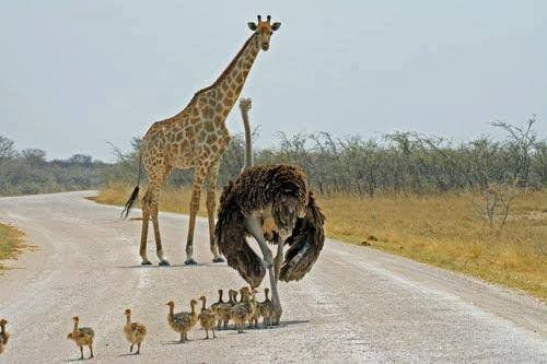 #African traffic jam! #Ostrich mom with her #chicks.
