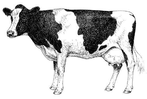 Vache laitière de race Prim'Holstein (d'après Raveneau, A., 1993).