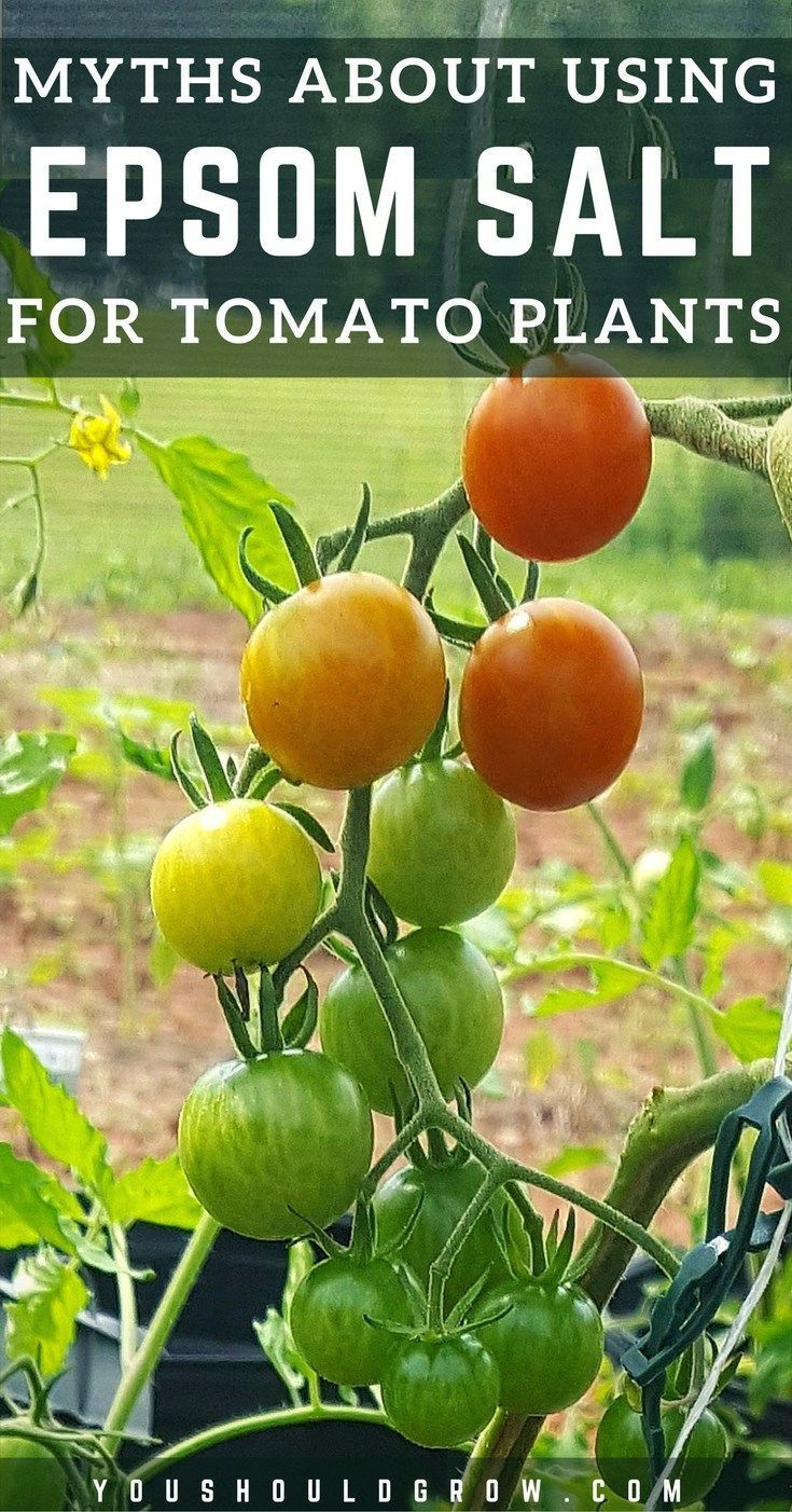 Growing Tomatoes: Epsom salt has a purpose in the garden, but there are several common gardening myths about using Epsom salt for tomato plants. Let's sort out fact from fiction. Learn whether using Epsom salts for tomatoes is appropriate in YOUR garden. How To Grow | Gardening Tips | Garden Hacks