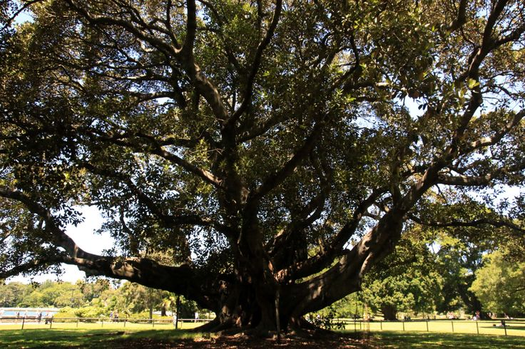 Grand old tree in the Sydney Botanic Gardens.