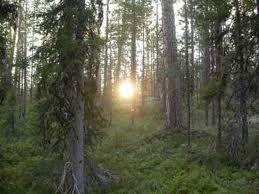El Bosque Boreal o Taiga Siberiana tiene una serie de especies de árboles tradicionales como los abetos y pinos o incluso las coníferas.