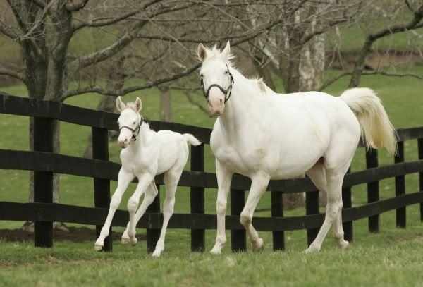 "Rare white Thoroughbreds in Kentucky -  ""Patchen Beauty"" and her foal ""Patchen Prince.""  They are confirmed for dominant white gene and are from the famous ""Patchen"" line."