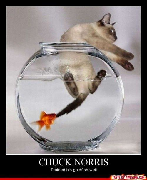 chuck norris gold fish