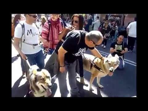 Madrid 12 de marzo  2017 Manifestación por el lobo ibérico   lema  lobo ...