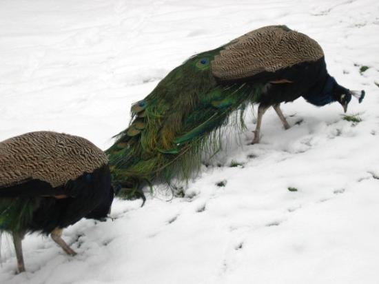 winter peacocks in Lazienki Krolewskie Park