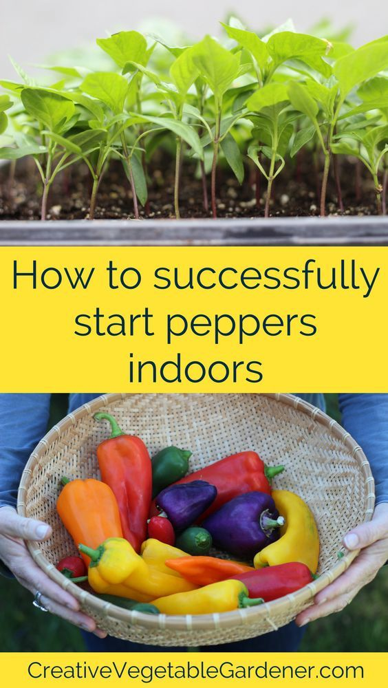 Starting peppers indoors can be a tricky part of the seed starting process. Here's how to have more success.