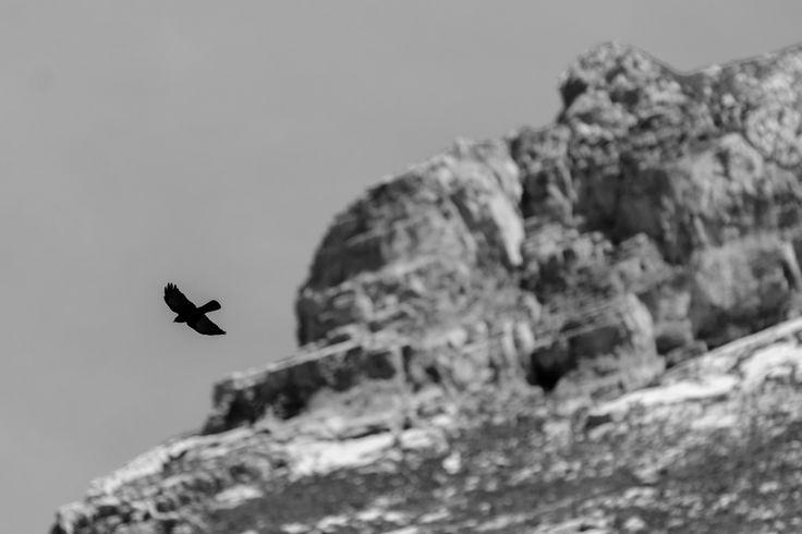 Chocard en vol dans le ciel du Lac de Peyre au dessus du Col de La Colombière.