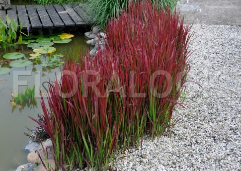 Imperata cylindrica 39 red baron 39 plants pinterest for Ornamental grass design