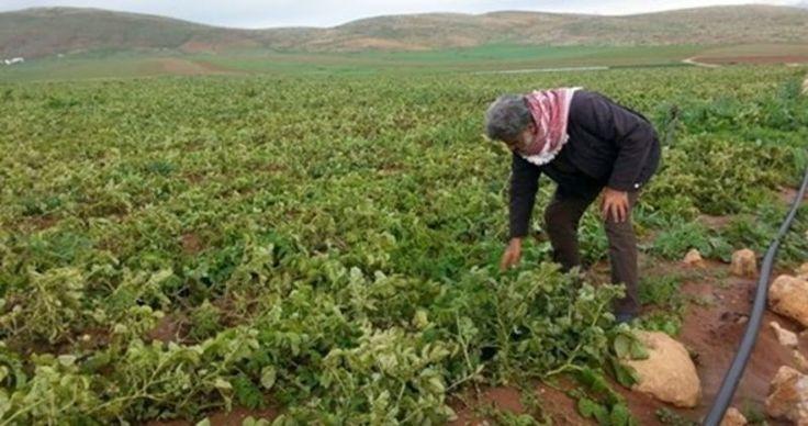 Penjajah Zionis Racuni Tanaman Warga Gaza dengan Pestisida  Foto: PIC  GAZA Kamis (PIC): Pesawat-pesawat Israel Selasa (24/1) pagi menyemprot tanaman-tanaman dan rumah-rumah yang terletak di daerah garis perbatasan di Khuzaa Wadi al-Salka timur al-Buraij dan selatan Gaza. Para saksi mata mengatakan pada wartawan PIC bahwa pasukan Israel membakar ban-ban karet di sepanjang pagar perbatasan untuk menentukan arah angin demi mencegah pestisida mengenai tanaman-tanaman para pemukim ilegal Yahudi…