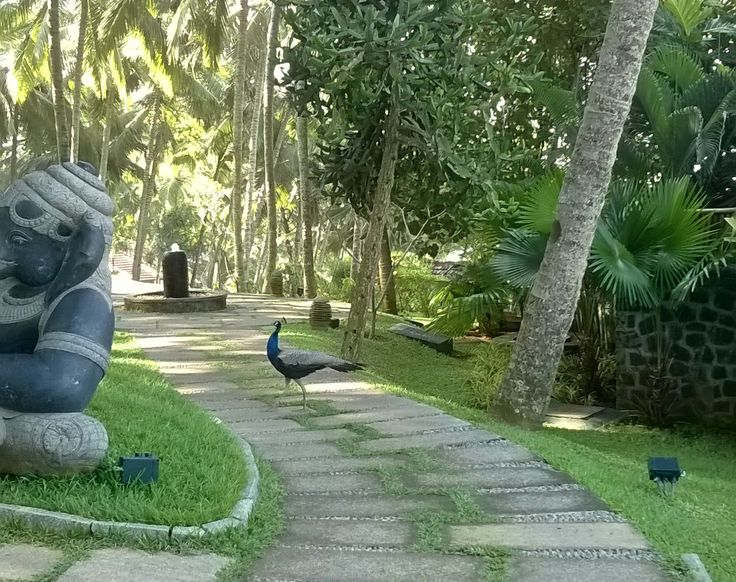 Our guests witnessed wildlife at their doorstep as one of the graceful entities of Indian fauna, paid visit to Niraamaya Retreat Surya Samudra, Kovalam.   www.niraamaya.in #niraamayaretreats #resortsinkerala #bestayurvedaresort