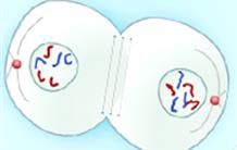 La division cellulaire : la mitose