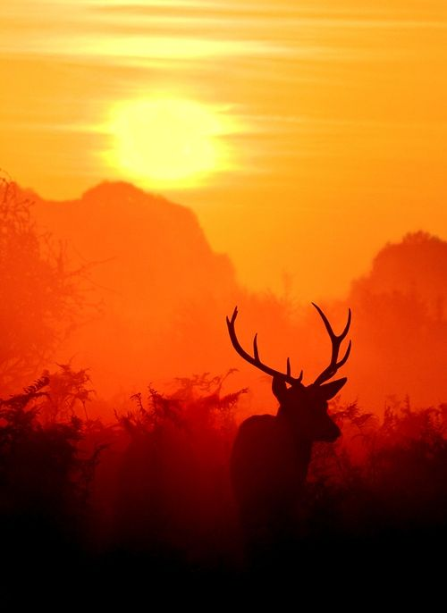 A male Red Deer silhouetted against the sunrise early one morning.  by Joe Kellard