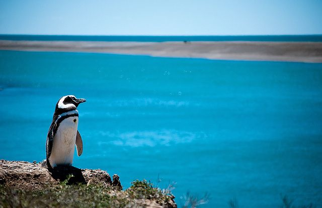 海外旅行世界遺産 ペンギン アルゼンチンの絶景写真画像ランキング  アルゼンチン プンタ・トンボに行くと150万羽のマゼラン・ペンギンを見ることが出来ます。スクアス、カモメ、インカアザラシ、カルモラネスなどの海鳥と棲んでいます。プンタ・トンボの保護地区は、観光客が保護地区の中を歩くことが出来るので観光スポットのひとつです。