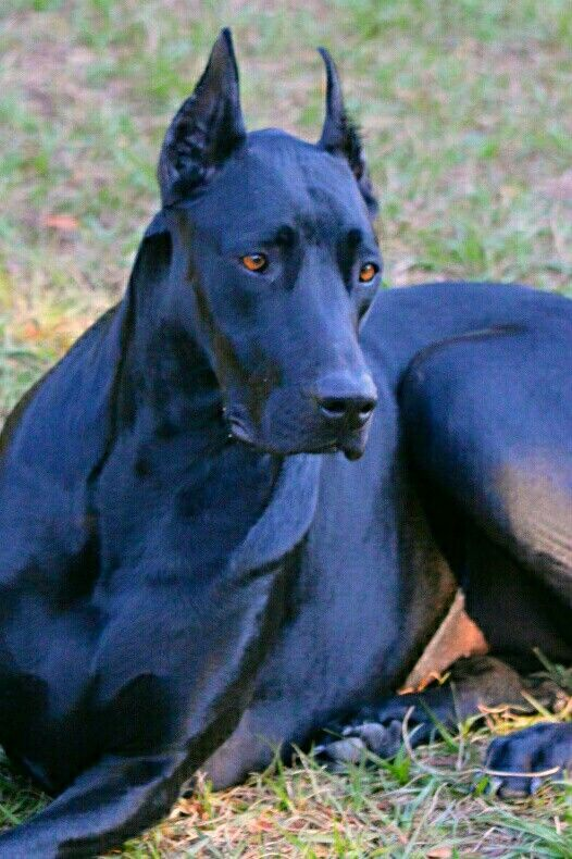 Grew up with three dobedanes all blue all big and bad. Live longer less problems. Once the crap terrier from the dobe- is mostly bred out u really got a wicked animal