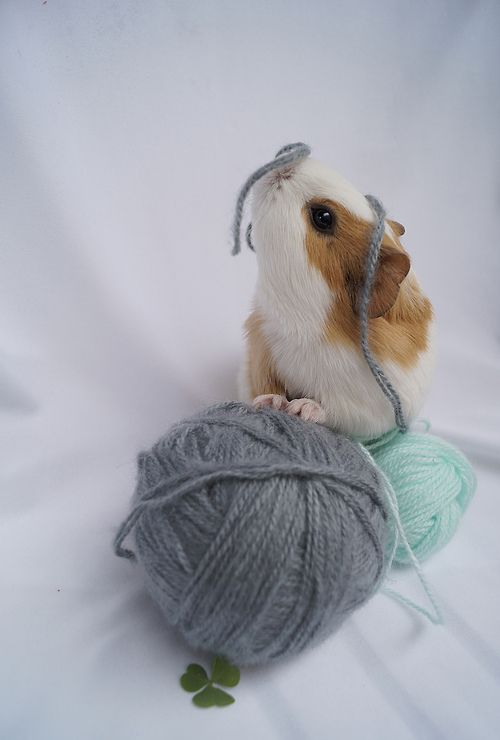 Just because yarn... (by gabitayuz) Guinea Piggie