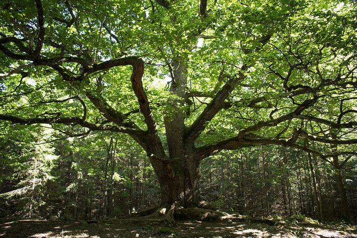 Paavolan Tammi   by visitsouthcoastfinland #visitsouthcoastfinland #Finland #Lohja #oaktree #tammi #forest #metsä