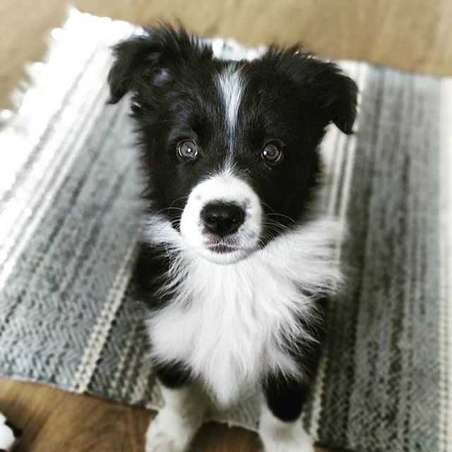 Image May Contain Dog Regram Via Generated Border Collie Collie Beautiful Dogs