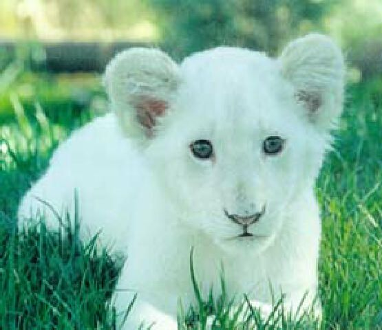 white lioness with blue eyes has blue eyes that almost