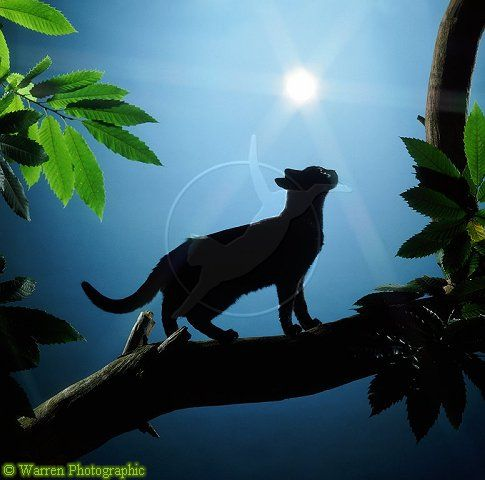 pictures of warrior cats   Majestic warrior cat - Warrior Cats Forever Photo (30356651) - Fanpop ...