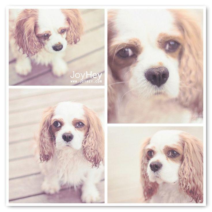 Cute dog - cavalier